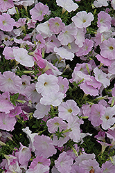Wave Misty Lilac Petunia (Petunia 'Wave Misty Lilac') at The Mustard Seed