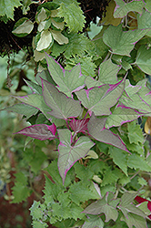 Tricolor Sweet Potato Vine (Ipomoea batatas 'Tricolor') at Bachman's Landscaping