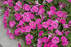 Easy Wave® Pink Petunia (Petunia 'Easy Wave Pink') at The Mustard Seed