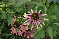 Green Envy Coneflower (Echinacea purpurea 'Green Envy') at The Mustard Seed