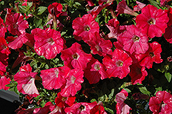 Supertunia® Watermelon Charm Petunia (Petunia 'Supertunia Watermelon Charm') at Bachman's Landscaping