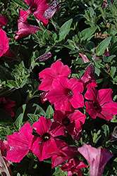 Supertunia Vista® Fuchsia Petunia (Petunia 'Supertunia Vista Fuchsia') at The Mustard Seed