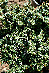 Piccolo Dwarf Balsam Fir (Abies balsamea 'Piccolo') at Bachman's Landscaping