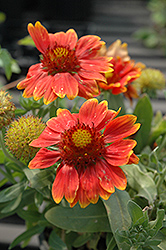 Gallo™ Orange Blanket Flower (Gaillardia aristata 'Gallo Orange') at Flagg's Garden Center