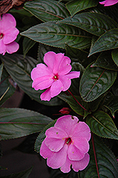 ColorPower Lavender New Guinea Impatiens (Impatiens hawkeri 'ColorPower Lavender') at Flagg's Garden Center