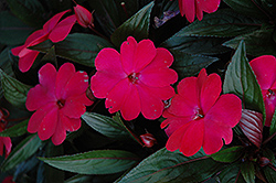 Harmony Magenta New Guinea Impatiens (Impatiens hawkeri 'Harmony Magenta') at Flagg's Garden Center