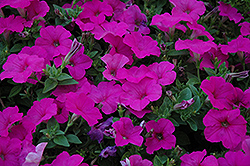Easy Wave Neon Rose Petunia (Petunia 'Easy Wave Neon Rose') at The Mustard Seed