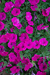 Shock Wave Purple Petunia (Petunia 'Shock Wave Purple') at The Mustard Seed
