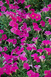 Shock Wave Rose Petunia (Petunia 'Shock Wave Rose') at The Mustard Seed