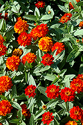 Profusion Double Fire Zinnia (Zinnia 'Profusion Double Fire') at The Mustard Seed