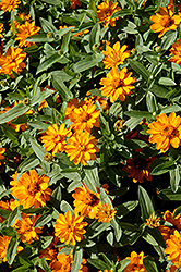 Profusion Double Golden Zinnia (Zinnia 'Profusion Double Golden') at The Mustard Seed