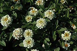 Profusion Double White Zinnia (Zinnia 'Profusion Double White') at The Mustard Seed