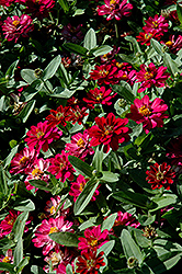 Profusion Double Cherry Zinnia (Zinnia 'Profusion Double Cherry') at The Mustard Seed