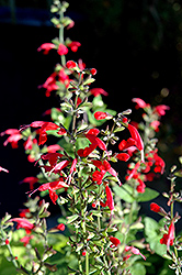 Summer Jewel Red Sage (Salvia 'Summer Jewel Red') at Flagg's Garden Center