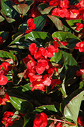 Whopper® Red Green Leaf Begonia (Begonia 'Whopper Red Green Leaf') at Flagg's Garden Center