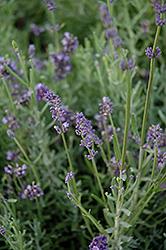 Lavandula blue scent