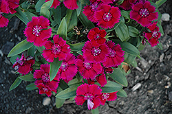 Floral Lace™ Purple Pinks (Dianthus 'Floral Lace Purple') at Flagg's Garden Center
