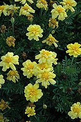 Janie Primrose Yellow Marigold (Tagetes patula 'Janie Primrose Yellow') at The Mustard Seed