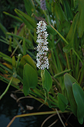 White Pickerelweed (Pontederia cordata 'Alba') at The Mustard Seed