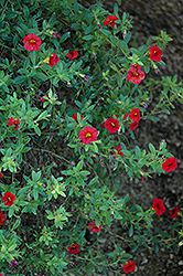 Superbells® Scarlet Calibrachoa (Calibrachoa 'Superbells Scarlet') at The Mustard Seed