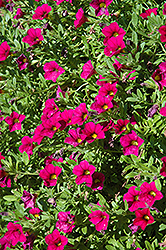 MiniFamous® Compact Purple Calibrachoa (Calibrachoa 'MiniFamous Compact Purple') at The Mustard Seed
