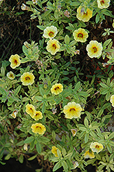Aloha Yellow Red Eye Calibrachoa (Calibrachoa 'Aloha Yellow Red Eye') at The Mustard Seed