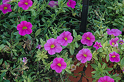 Aloha Pink Calibrachoa (Calibrachoa 'Aloha Pink') at The Mustard Seed
