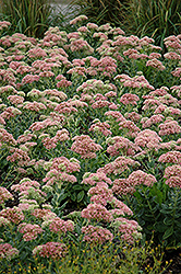 Autumn Joy Stonecrop (Sedum 'Autumn Joy') at Bartlett's Farm