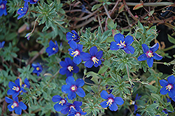Angie Blue Pimpernel (Anagallis monelli 'Angie Blue') at Flagg's Garden Center