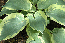 Northern Exposure Hosta (Hosta 'Northern Exposure') at Dundee Nursery
