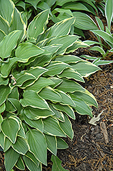 Little Wonder Hosta (Hosta 'Little Wonder') at The Mustard Seed
