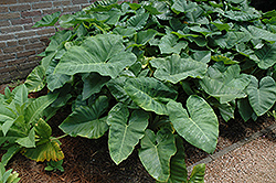 Elephant's Ear (Caladium colocasia) at The Mustard Seed