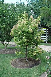 Ceylon Cinnamon (Cinnamomum verum) at A Very Successful Garden Center