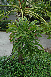 Tree Philodendron (Philodendron bipinnatifidum) at A Very Successful Garden Center