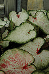 White Wonder Caladium (Caladium 'White Wonder') at Flagg's Garden Center