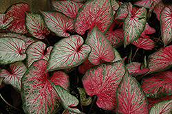 Carolyn Whorton Caladium (Caladium 'Carolyn Whorton') at Bartlett's Farm