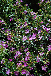 Purple False Heather (Cuphea hyssopifolia 'Purple') at Flagg's Garden Center