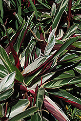 Tricolor Stromanthe (Stromanthe sanguinea 'Tricolor') at Bachman's Landscaping