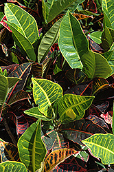 Variegated Croton (Codiaeum variegatum) at Bartlett's Farm