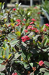 Crown Of Thorns (Euphorbia milii) at Flagg's Garden Center