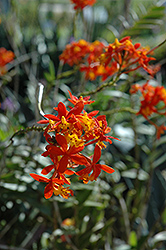 Fire Star Orchid (Epidendrum radicans) at A Very Successful Garden Center