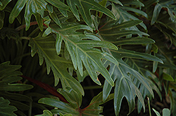 Xanadu Philodendron (Philodendron 'Winterbourn') at Bartlett's Farm