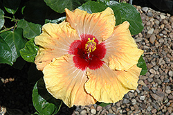 Fifth Dimension Hibiscus (Hibiscus rosa-sinensis 'Fifth Dimension') at Flagg's Garden Center