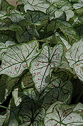 Candidum Jr. Caladium (Caladium 'Candidum Jr.') at Bartlett's Farm