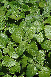 Lemon Balm (Melissa officinalis) at Bartlett's Farm