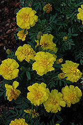 Alumia Yellow Marigold (Tagetes patula 'Alumia Yellow') at Flagg's Garden Center