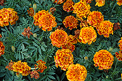 Alumia Flame Marigold (Tagetes patula 'Alumia Flame') at Flagg's Garden Center