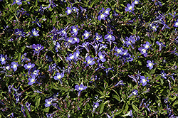 Techno® Upright Blue Lobelia (Lobelia erinus 'Techno Upright Blue') at The Mustard Seed