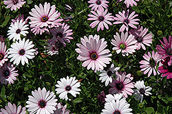 Passion Mix African Daisy (Osteospermum 'Passion Mix') at The Mustard Seed