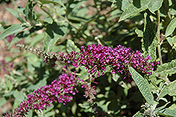 Buzz™ Purple Butterfly Bush (Buddleia davidii 'Buzz Purple') at Flagg's Garden Center